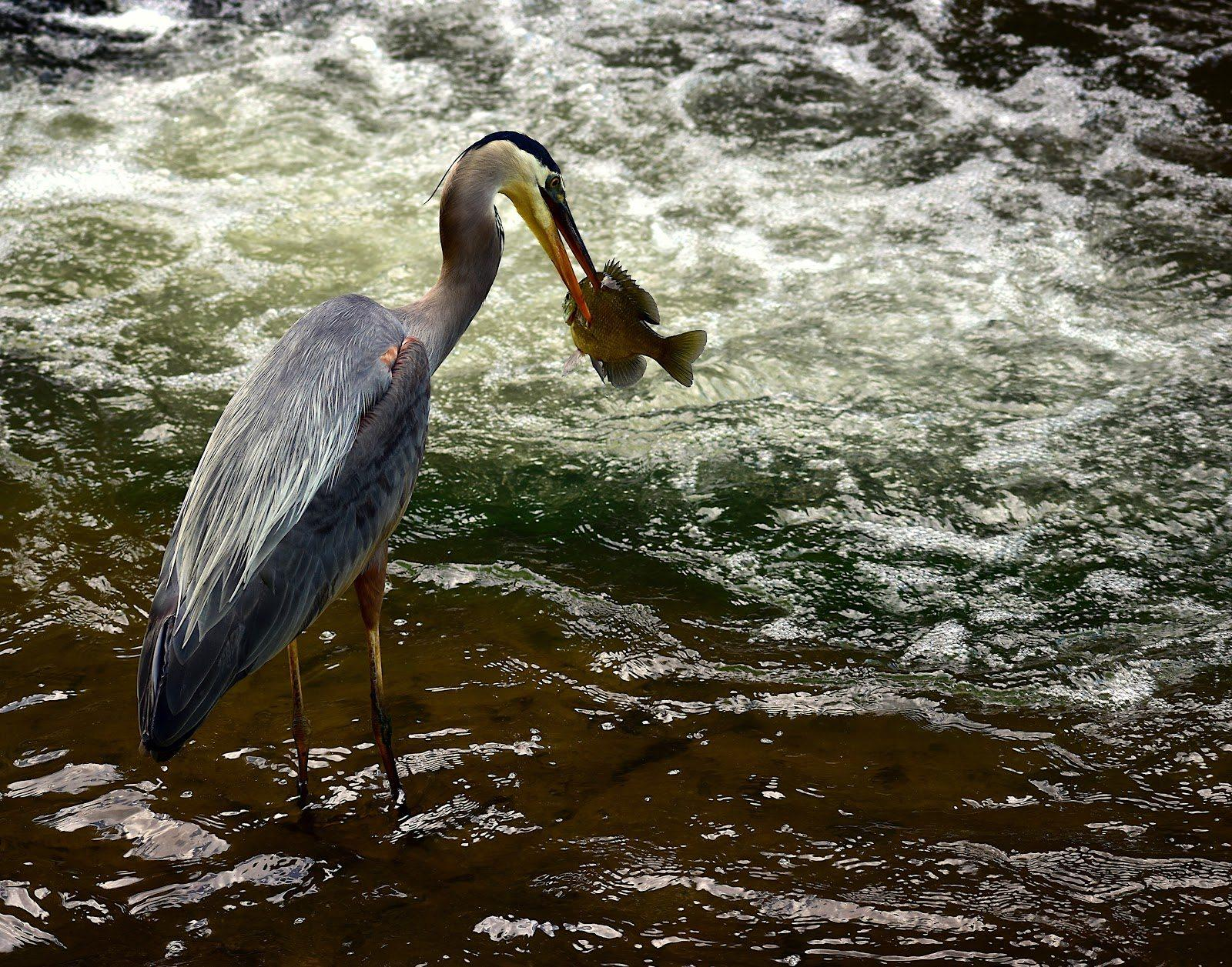 A heron catches a fish in this Bailey Maier photograph in the college's 58th annual Juried Student Exhibition