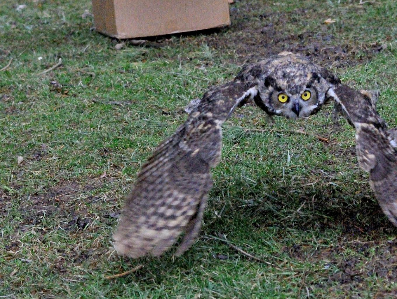 A recovered owl takes flight at Rice Creek Field Station