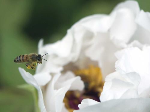 A bee approaches a flower