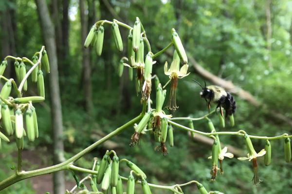 bumblebee pollinating rattlesnake-root plant