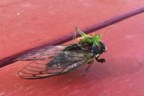 katydid on cicada