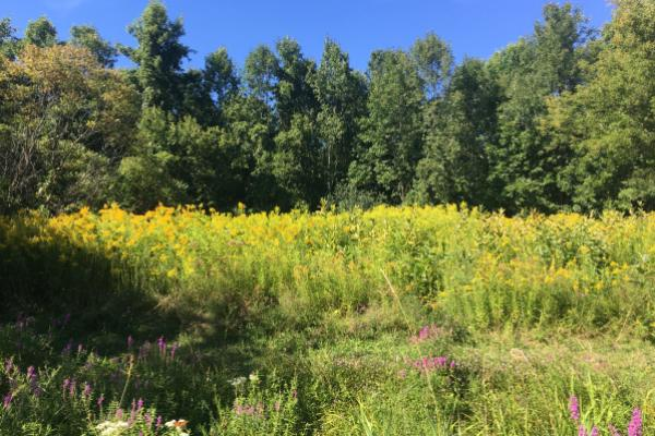 blue trail field with goldenrod