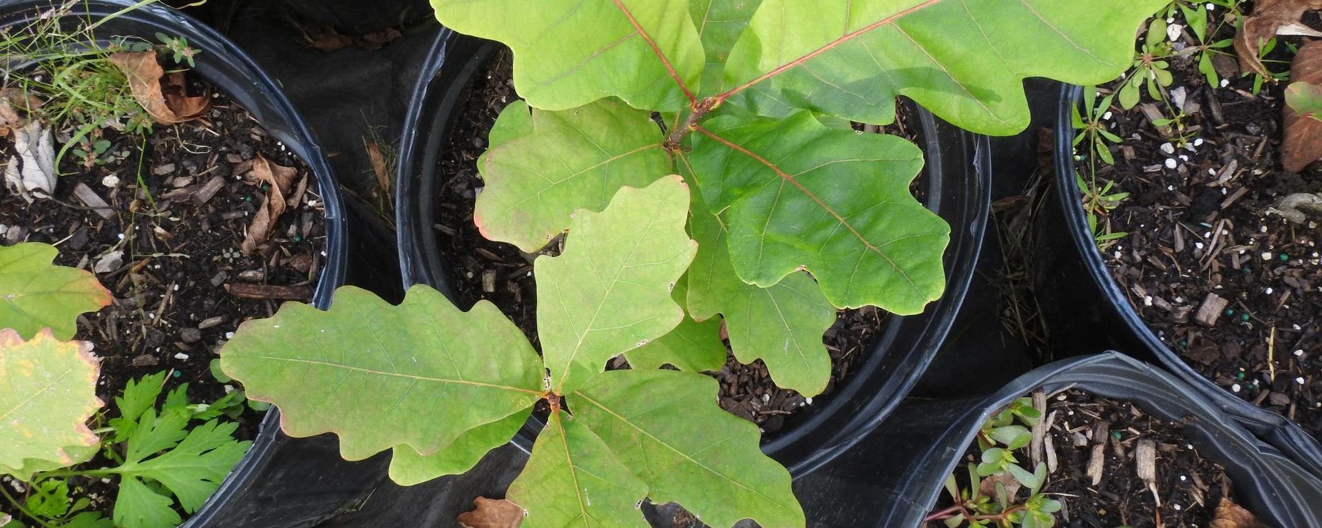 oak seedlings in pots