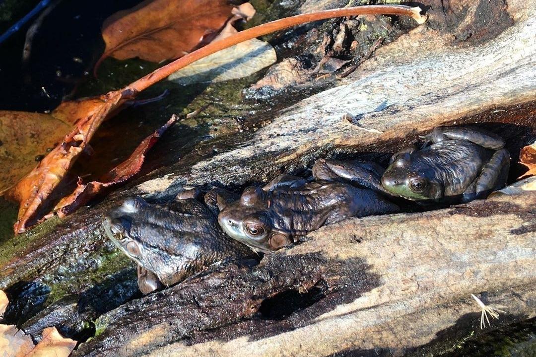 three frogs