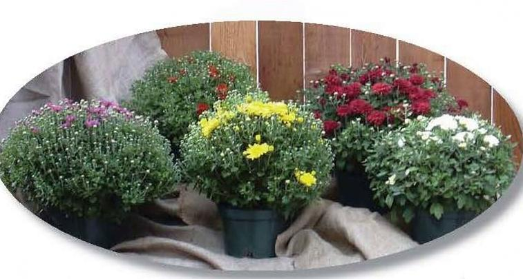 Picture of five potted mums